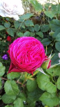 【ゆうぜん】F&Gローズ - 小庭の園芸日記