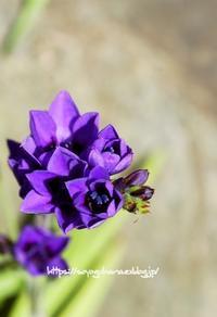 バビアナ - 花と風の薫り