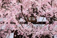 2020桜咲く京都 建仁寺と祇園甲部歌舞練場の桜 - 花景色-K.W.C. PhotoBlog
