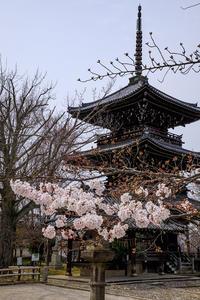 2020桜咲く京都 ソメイヨシノと山茱萸(真如堂) - 花景色-K.W.C. PhotoBlog