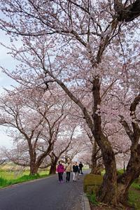 桜2020-05-26更新 - 夕陽に魅せられて・・・