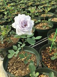 バラの季節がやってくる! - バラのある幸せな暮らし研究所
