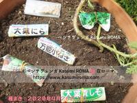 """""""野菜の種、ようやく撒きました♪"""" ~ プランター菜園②2020年 春4月下旬 ~ - 『ROMA』ローマ在住 ベンチヴェンガKasumiROMAの「ふぉとぶろぐ♪ 」"""