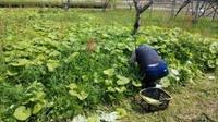 フキ畑 - がちゃぴん秀子の日記