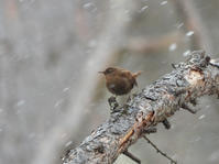 昨年のGW:ミソサザイ、カシラダカ、コガラ他@戸隠 - 青爺の野鳥日記