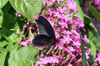 ナガサキアゲハ・・今年初見! - 続・蝶と自然の物語
