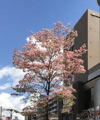 ハナミズキ咲く頃 - 優しい風のなかで