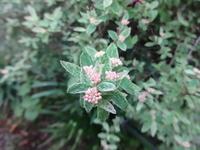 斑入り小手毬 - だんご虫の花