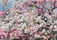 花桃奈良県 - ty4834 四季の写真Ⅱ