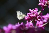 ヤマトスジグロシロチョウを探すByヒナ - 仲良し夫婦DE生き物ブログ