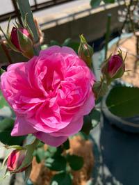 ルイーズオディエの新苗 - 春&ナナと庭の薔薇