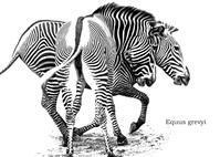 グレビーシマウマ:Grevy's Zebra - 動物園の住人たち写真展(はなけもの写眞館)