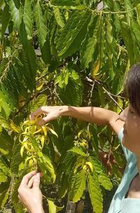 庭のイランイランが満開です。明日は、ソーパー仲間とZOOMでお茶会 - 寅ママのグアム生活(4人と3匹)-てげてげにグアム生活ー