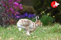 春のエゾユキウサギ - イチガンの花道