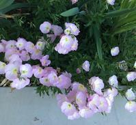 初夏の花咲く庭ーフォックスグローブ、スイートピー、アイリスなどなど - アバウトな情報科学博士のアメリカ