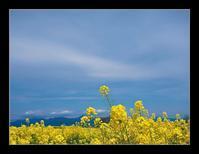 菜の花畑 - Desire