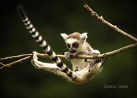 ワオキツネザル:Ring-tailed Lemur - 動物園の住人たち写真展(はなけもの写眞館)