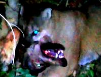 ピューマとオオカミの戦い - アニマル情報202X