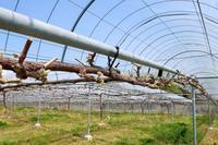 全種萌芽期に入りました。 - ~葡萄と田舎時間~ 西田葡萄園のブログ