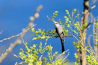 サンショウクイ - 野鳥鳴く自然風景