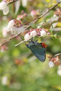 アオバセセリの発生確認 - 蝶超天国