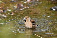 水浴びシメさん - 鳥と共に日々是好日②