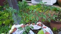 庭に野菜を植えました - アトリエチャイブ はな やさい ぬの blog