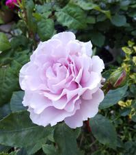 【リベルラ】F&Gローズ - 小庭の園芸日記