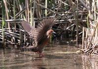 MFでヒクイナを撮るその2(羽ばたきリベンジ) - 私の鳥撮り散歩