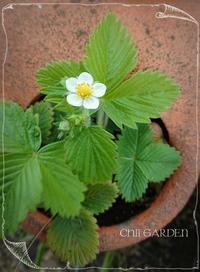 もみ撒きしたど~٩( ᐛ )۶とストロベリーのお花❁ - どんぐりの木の下で……