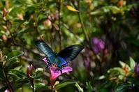 ミヤマカラスアゲハ他5月上旬 - 超蝶
