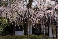 2020桜咲く京都 上品蓮台寺のしだれ桜 - 花景色-K.W.C. PhotoBlog