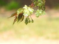 五月の桜 - monn-sann