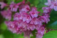 タニウツギ - あだっちゃんの花鳥風月