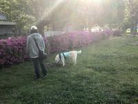 5月です - 秋田犬「大和と飛鳥丸」の日々Ⅱ