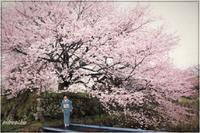 私の桜 2020今日はお家でお花見!! - 今が一番