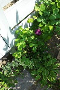 リシュリュー開花 - お庭のおと
