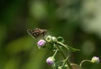 ギンイチモンジセセリの次はミヤマチャバネセセリin2020.05.02見沼田んぼFポイント - ヒメオオの寄り道