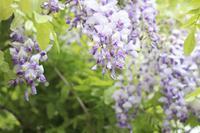 藤と新緑の牡丹 - 木洩れ日 青葉 photo散歩