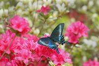 旬の蝶たち~ミヤマカラスアゲハ~ - Lycaenidaeの蝶鳥撮影日記