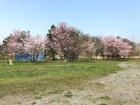 満開の桜♪  そして… - 笑う門には福来たる