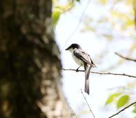 林道沿いでサンショウクイに・・・ - 一期一会の野鳥たち