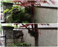庭木のヤツデをを剪定しました - スポック艦長のPhoto Diary