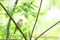 近所の小山でノジコをもう一度鳥×撮り2020.04 - 鳥×撮り+あるふぁ~