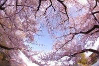 桜のお城散策(2020/4/5)其の④ - 南の気ままな写真日記