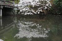 知恩院…桜の反省会③ - Taro's Photo