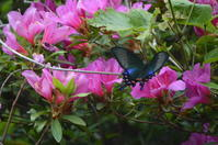 カラスアゲハ♀他5月上旬 - 超蝶