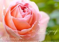 fpとわたくし。薔薇に埋もれてしまいたい。SIGMA fp + 70mm F2.8 DG MACRO | Art 作例#Sigmafp - さいとうおりのおいしいとかわいい
