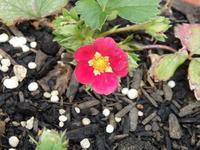 可愛いイチゴのお花たち - キミティのお花とギター