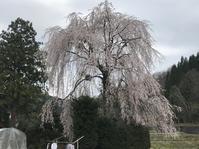 枝垂桜 - 花咲く俳句日誌
